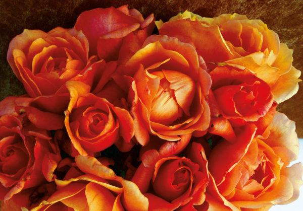 The Jane Austen rose