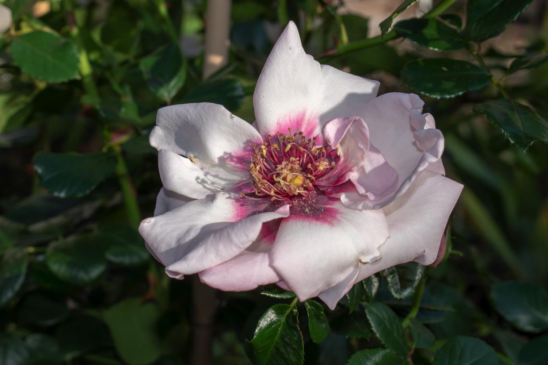 Chawton Cottage Rose